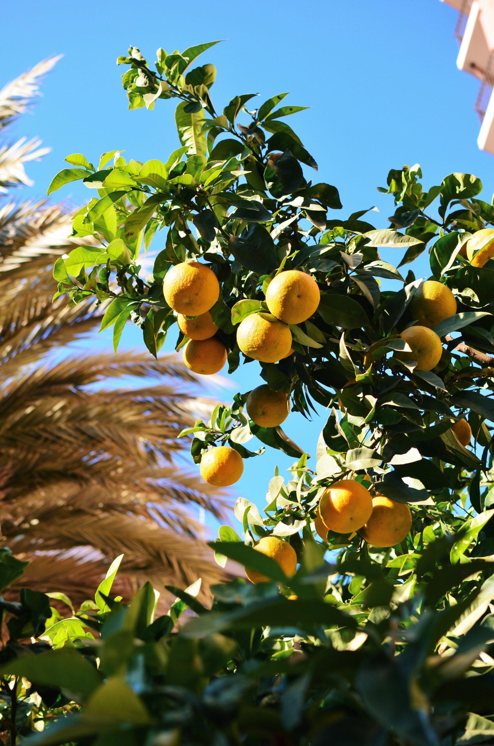 Palmy i pomarańcze w Walencji