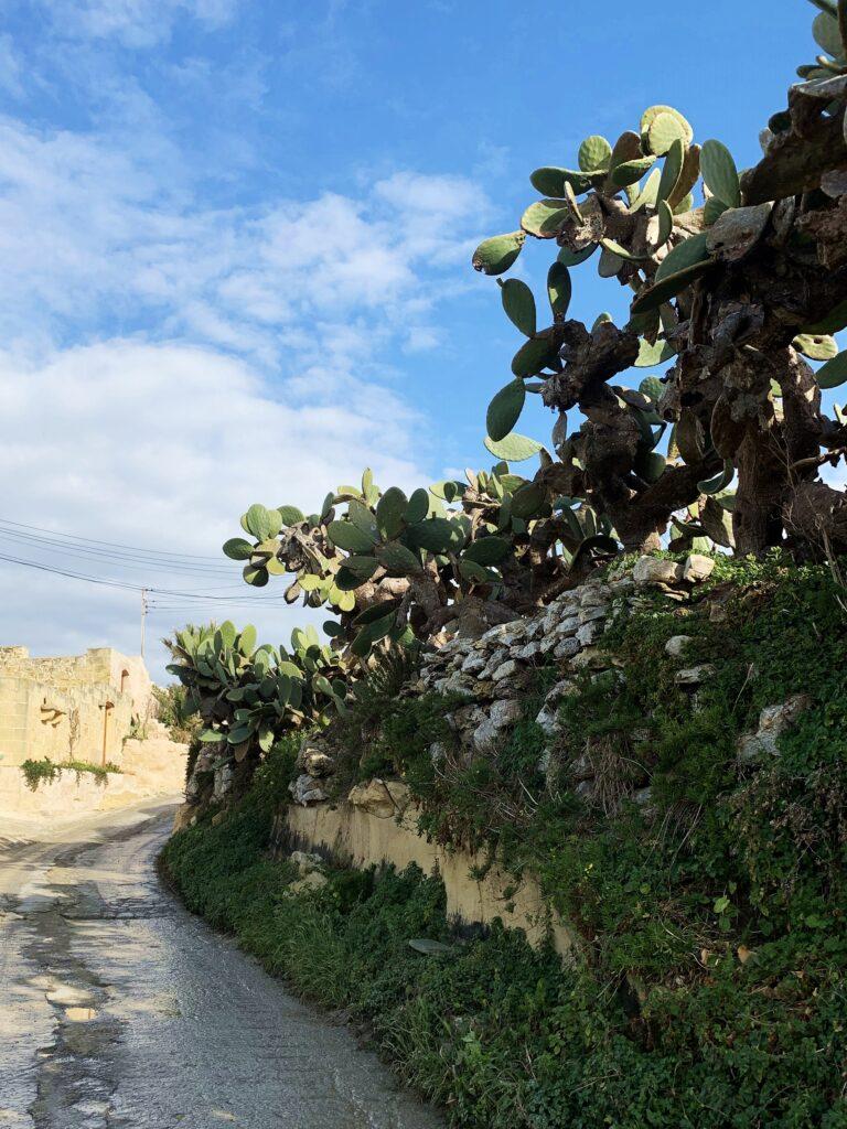 Kaktusy Gozo